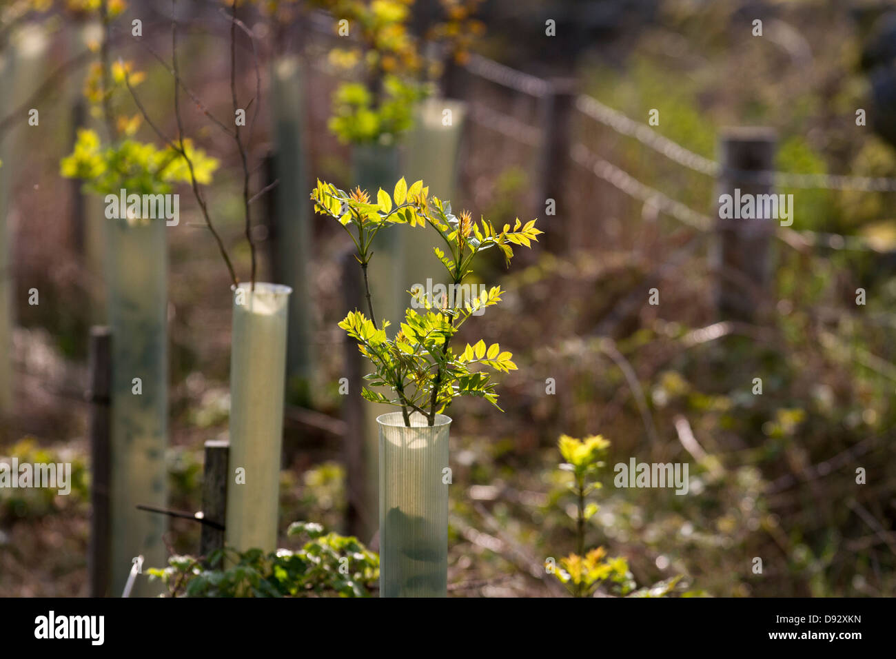 Spring growth on Sorbus aucuparia. Rowan. Young trees, protected by tree tubes,  growing in forestry Plantation, - Stock Image
