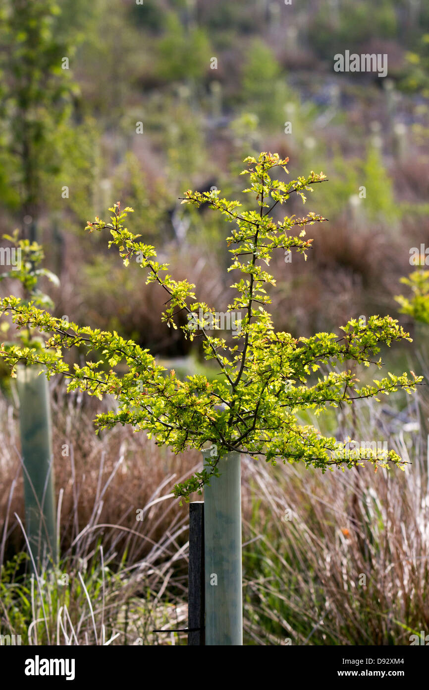 Spring growth on Hawthorn. Young trees in leaf, protected by plastic tree tubes,  growing in forestry Plantation, - Stock Image