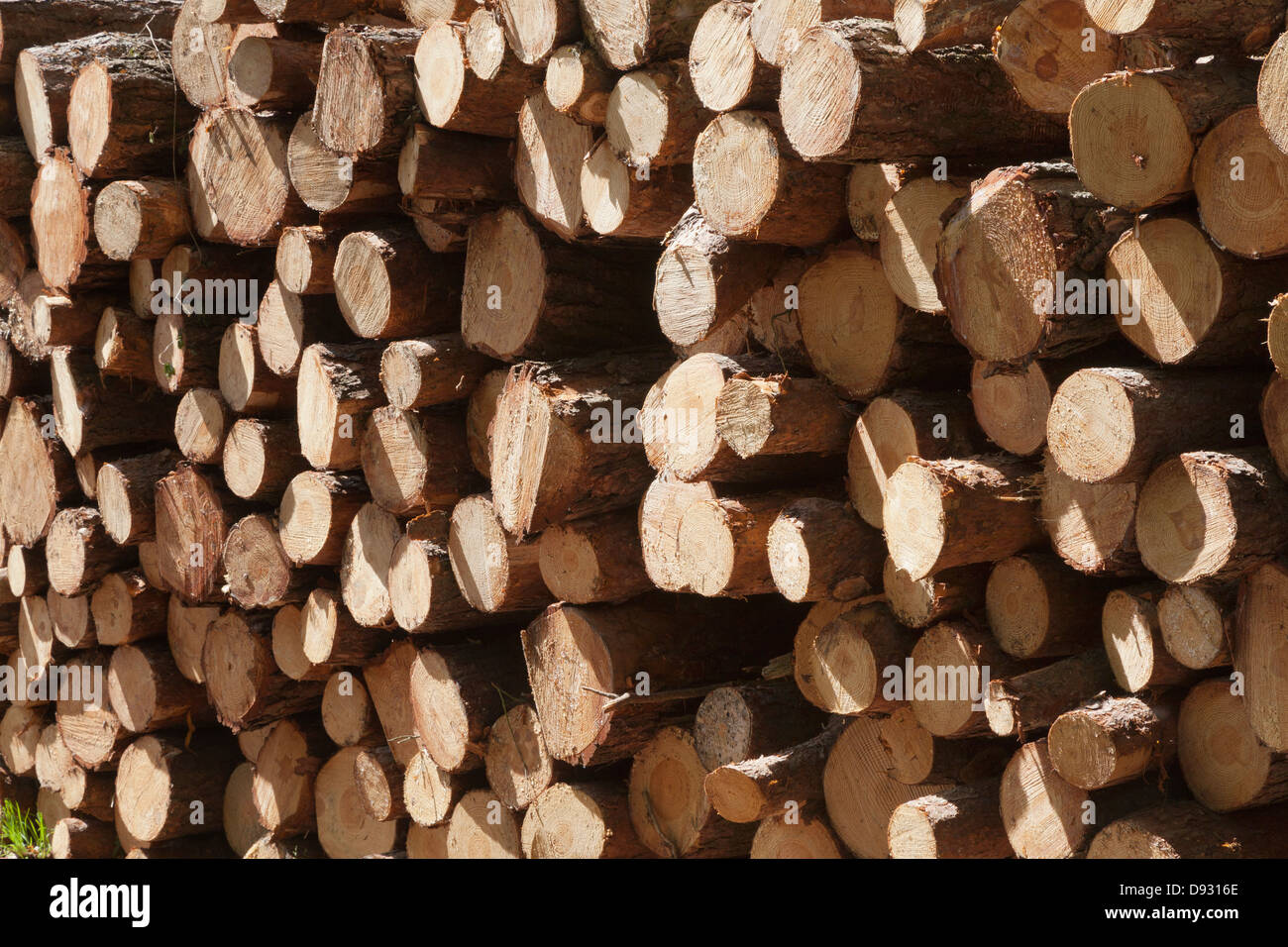 felled cut recent cut pine pinus sylvestris logs - Stock Image
