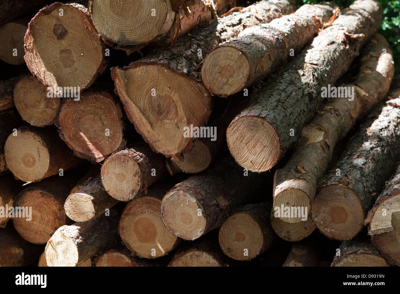 Pile of recently cut pine ( pinus sylvestris ) logs - Stock Image