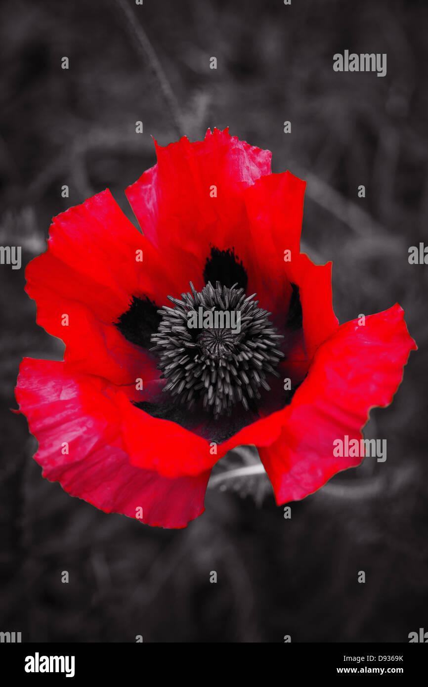 Black and white red tinted print of an oriental poppy - Stock Image