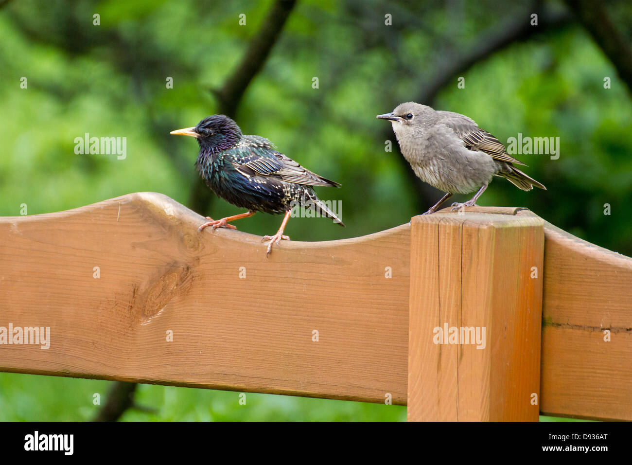 Two birds sitting side by side on the fence. One is a starling. - Stock Image