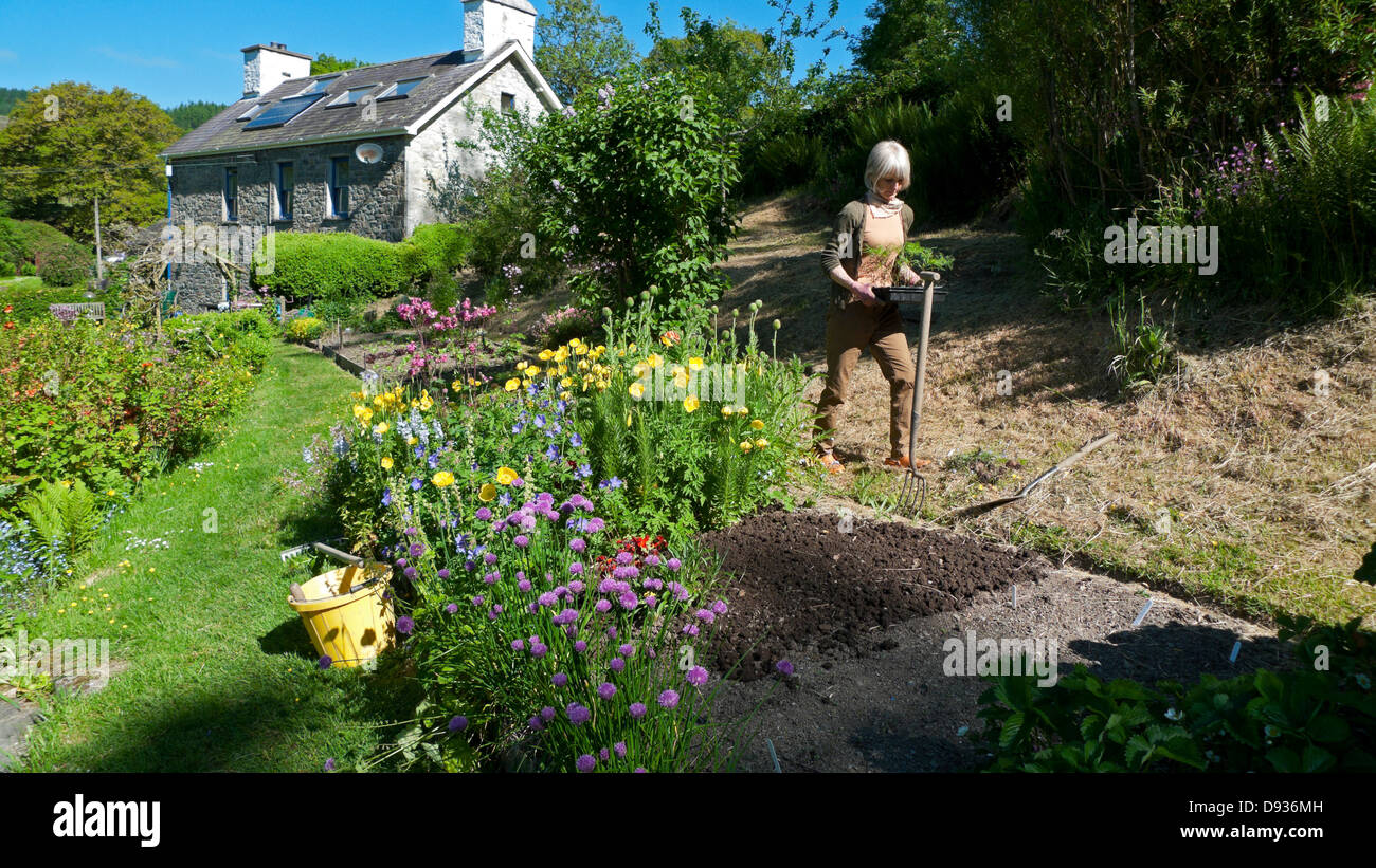 Woman carrying a tray of seedlings for transplanting into a seed bed in her cottage garden in summer in Wales UK - Stock Image