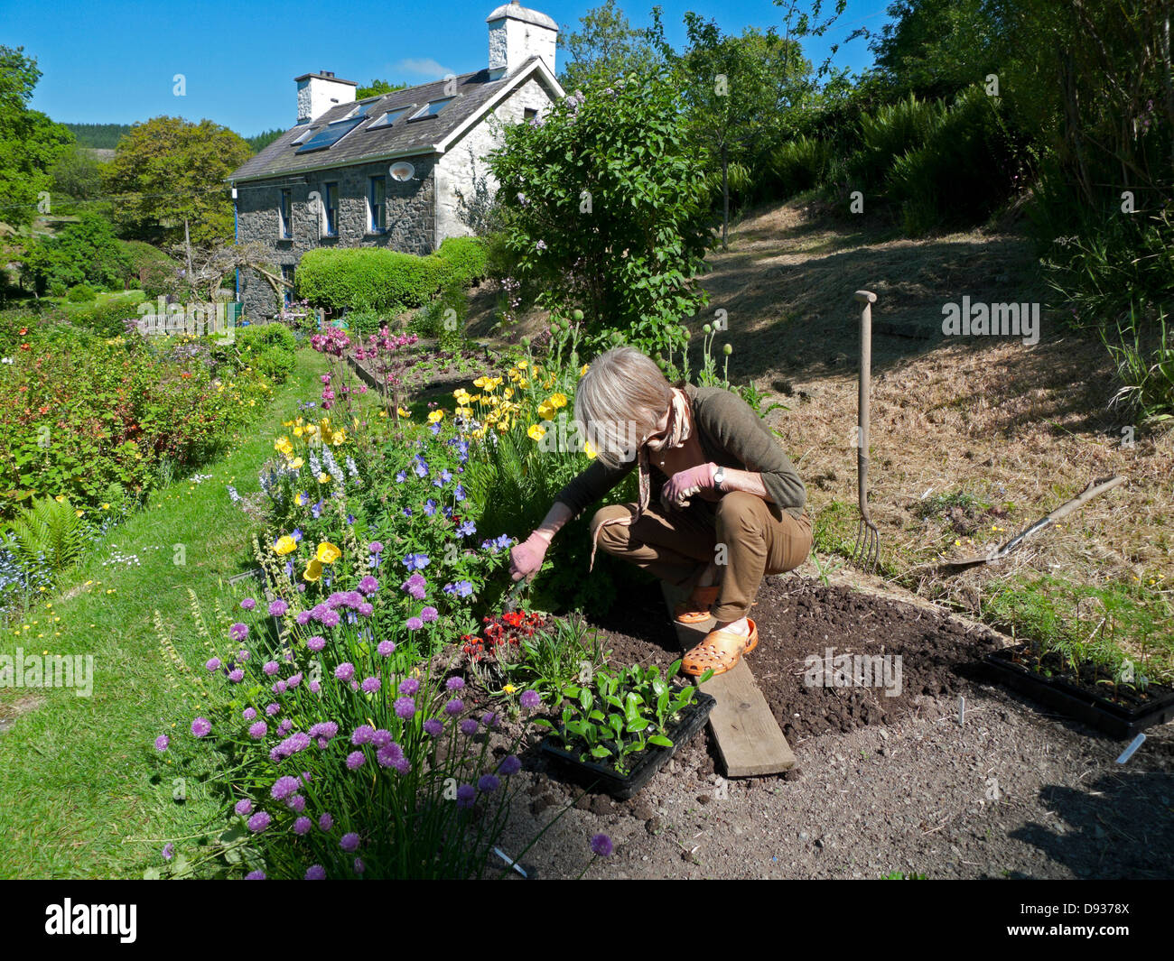A woman preparing to transplant rudbeckia seedling plants into her cottage garden in summer in June Carmarthenshire - Stock Image