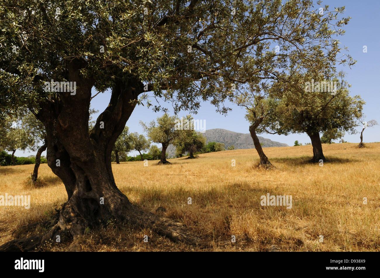 Olive grove,  Argolis, Peloponnese, Greece - Stock Image