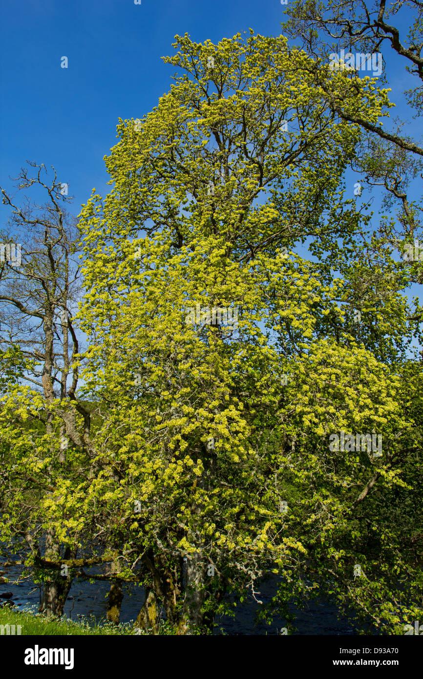 WYCH ELM OR SCOTS ELM [Ulmus glabra]  IN FULL FLOWER IN SPRING SCOTLAND - Stock Image