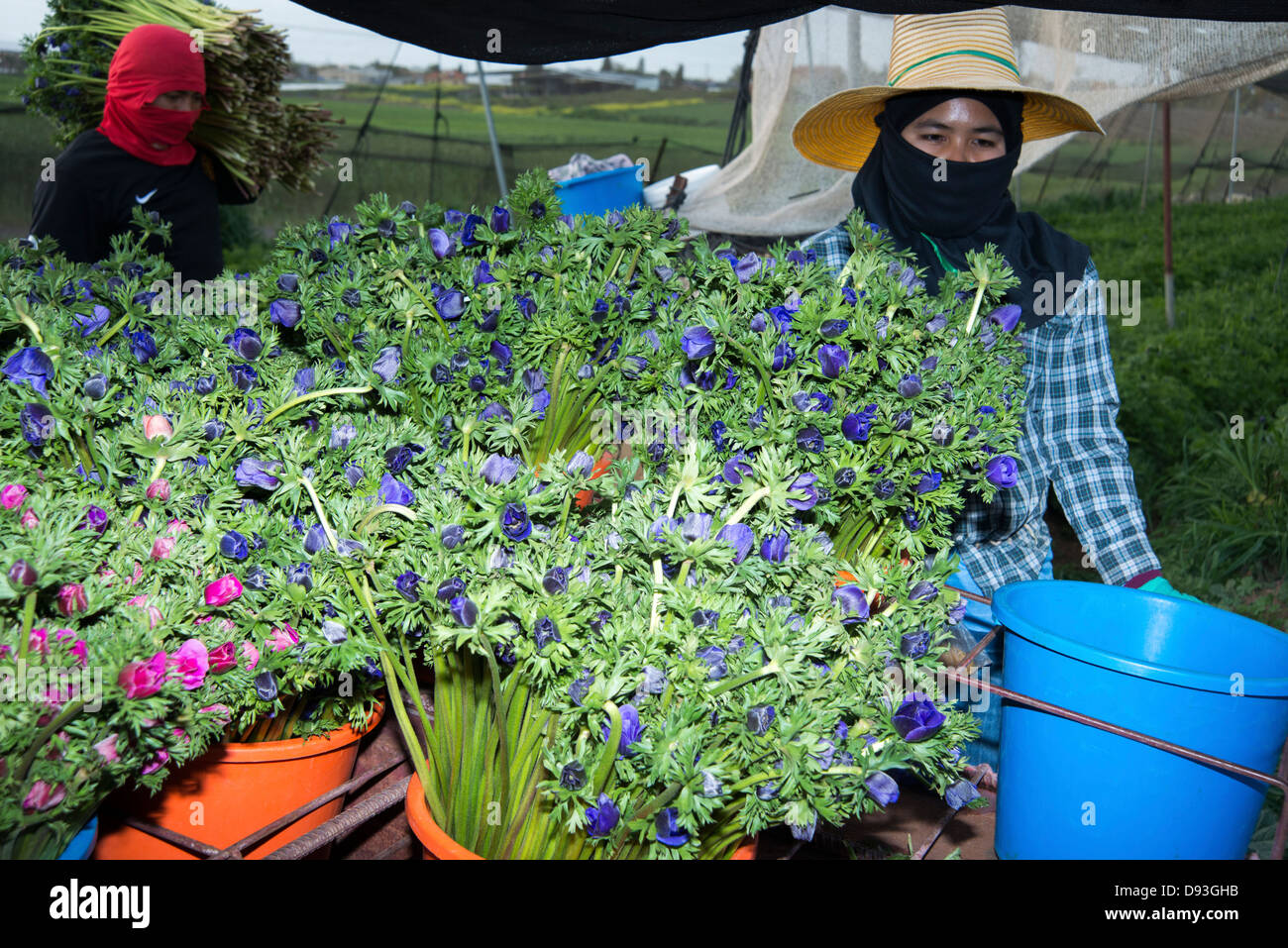 Flower export. Thai migrant works pick flowers in a hothouse Photographed in israel - Stock Image