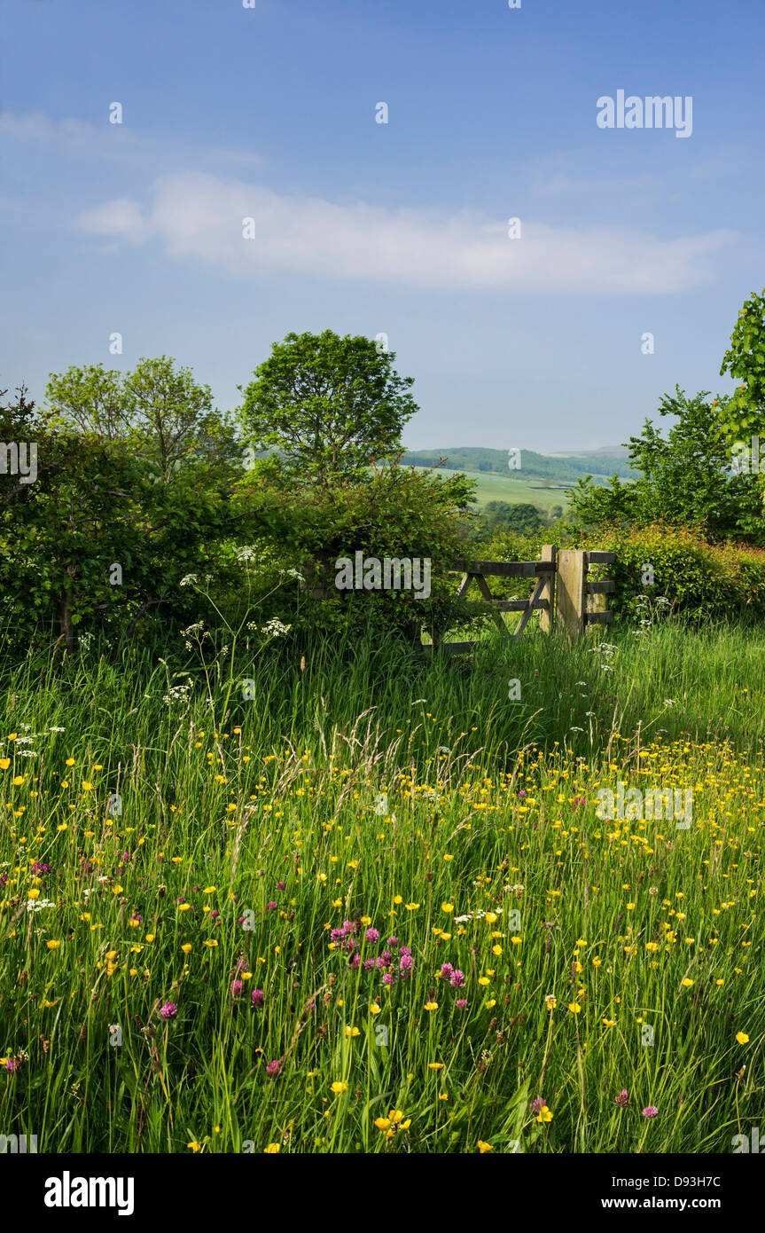 Wild flowers on an uncut grass verge alongside a road in Wensleydale, North Yorkshire - Stock Image