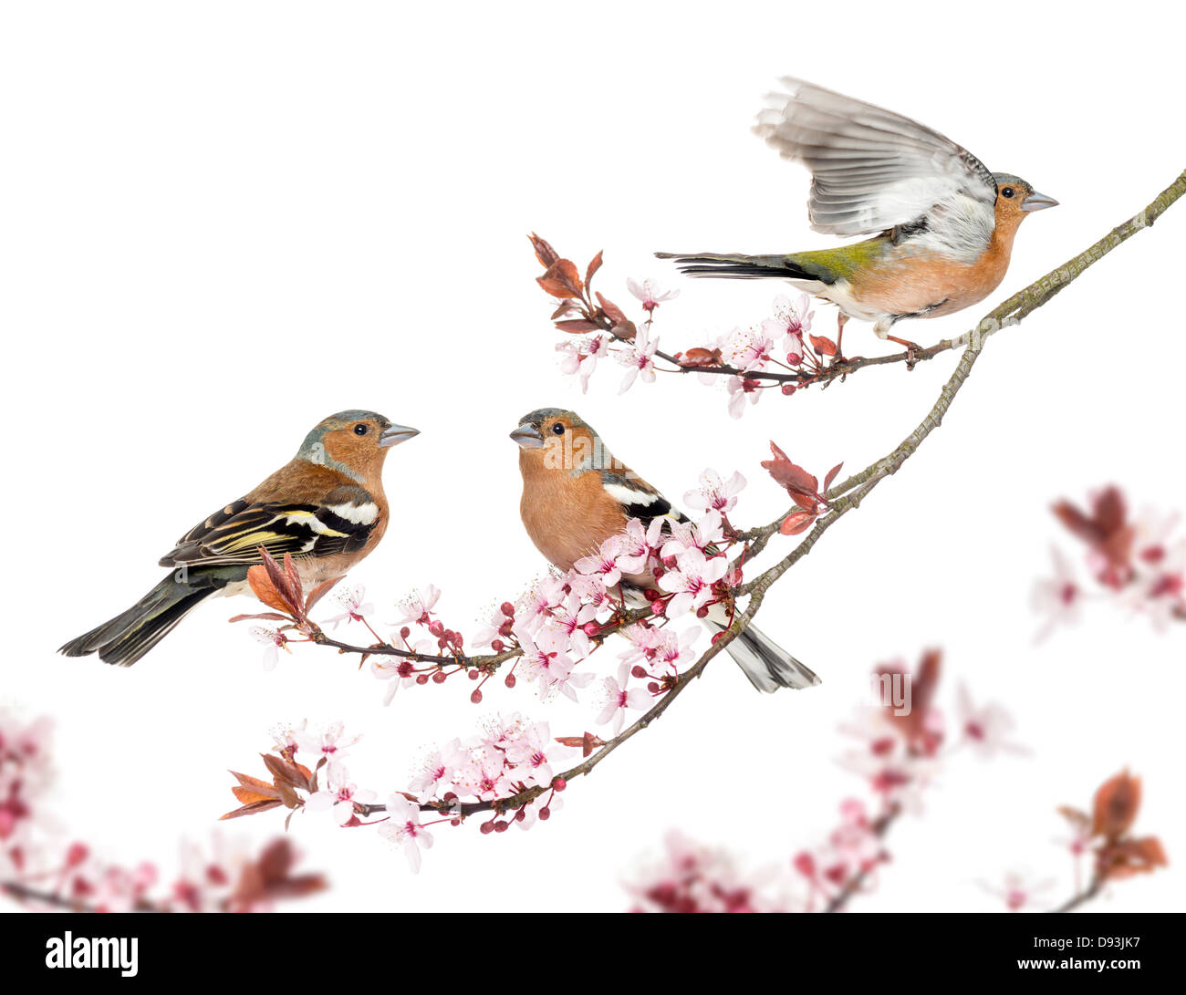 Group of Common Chaffinch, Fringilla coelebs, perched on Japanese Cherry branch against white background - Stock Image