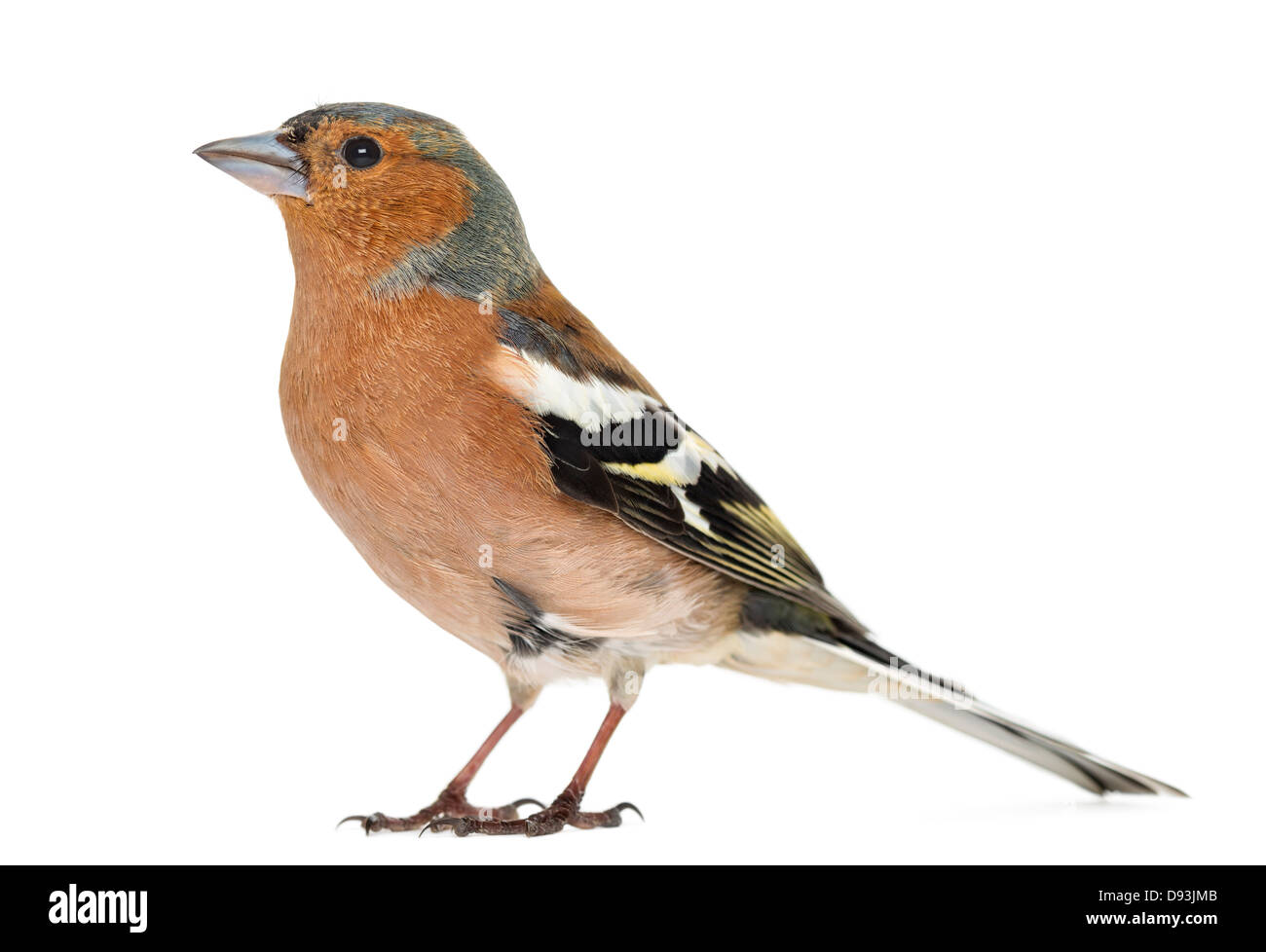 Common Chaffinch, Fringilla coelebs, against white background - Stock Image