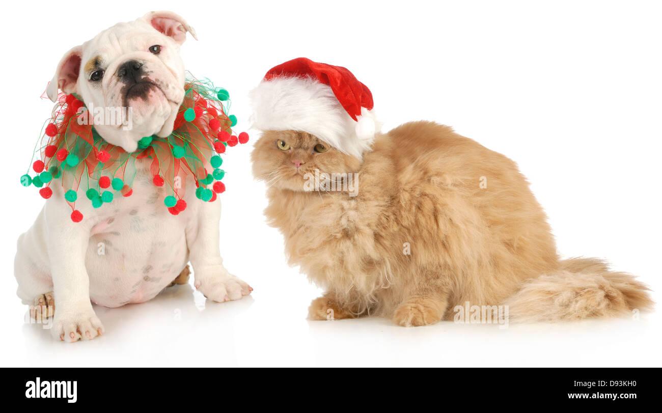 christmas pet - english bulldog and a cat sitting isolated on white background - Stock Image