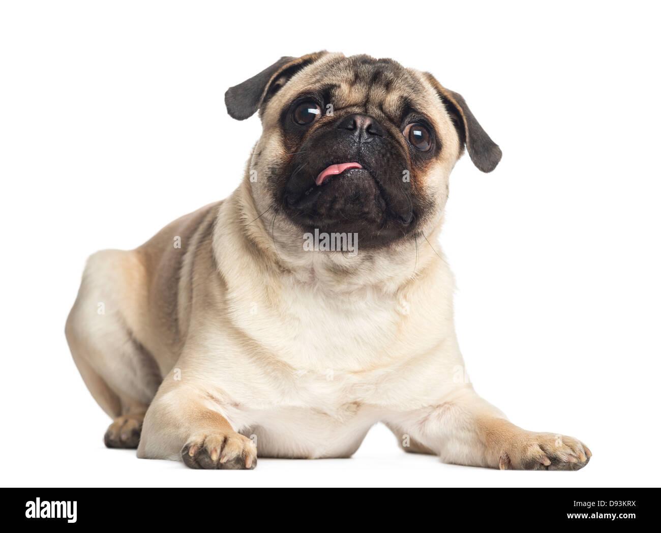 Pug, 1 year old, portrait lying against white background - Stock Image