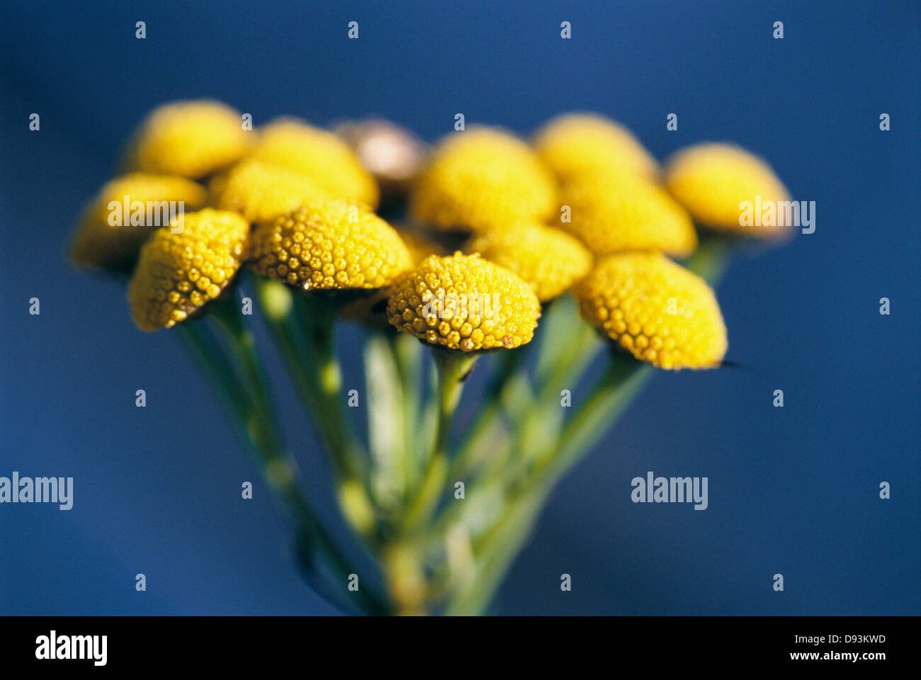 Tansy, close-up, Sweden. - Stock Image