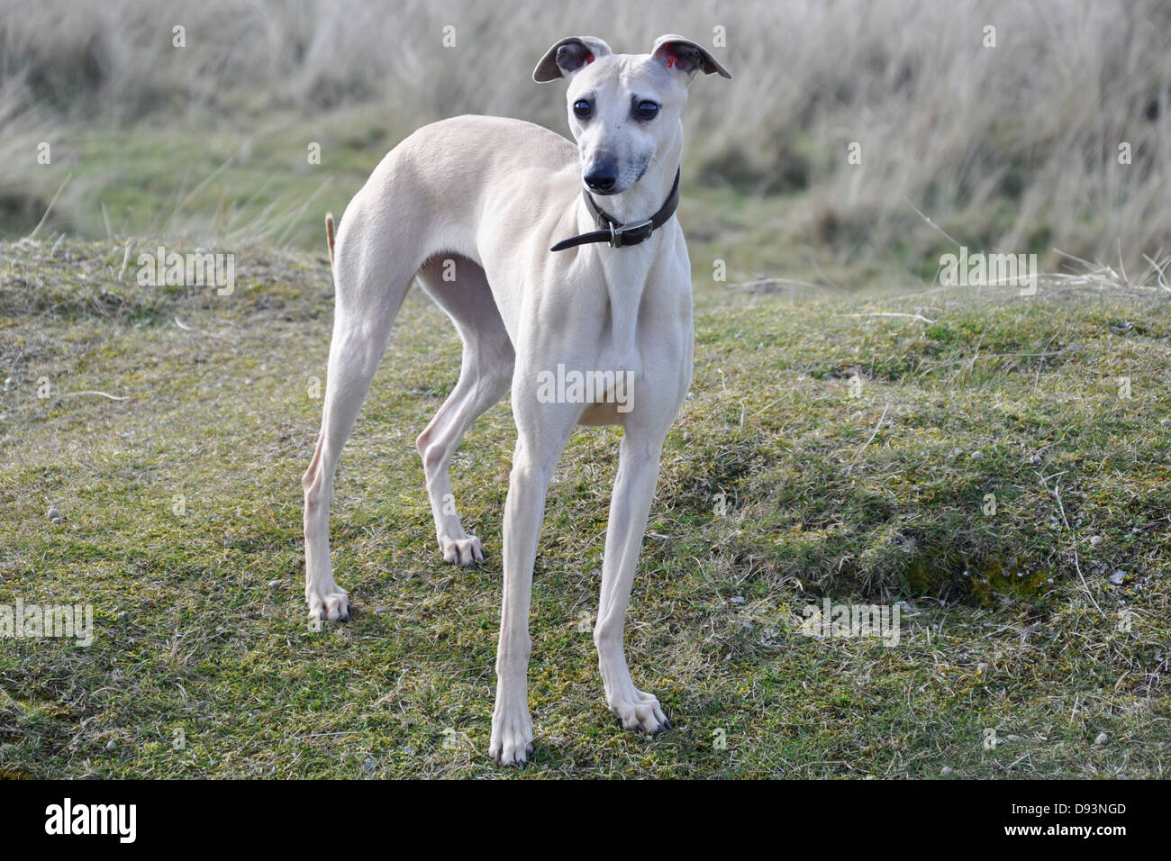 white whippet gun dog race dog standing still posed on a green grass hill UK - Stock Image