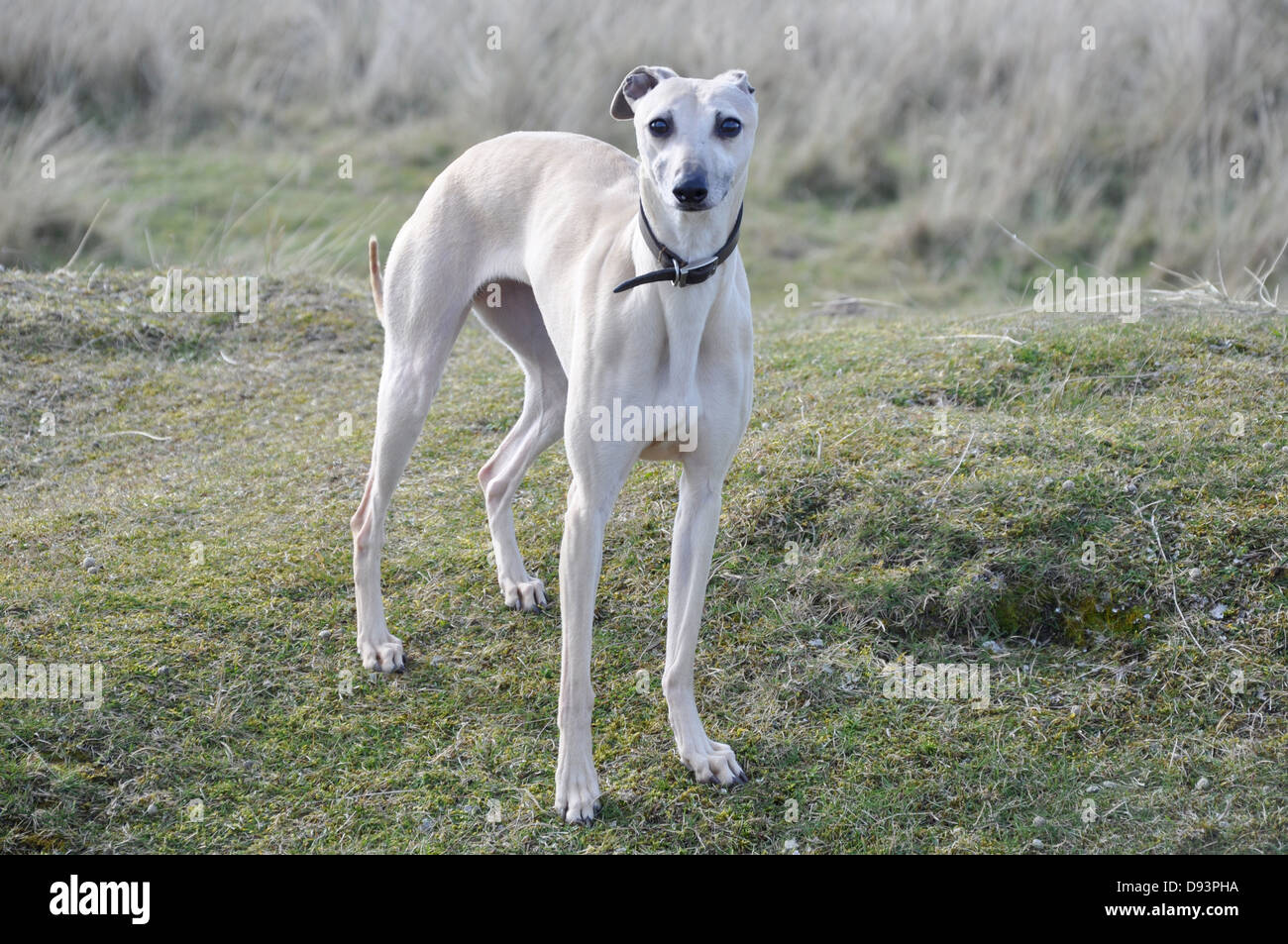 white whippet gun dog race dog standing still posed on a green grass hill looking at camera UK - Stock Image