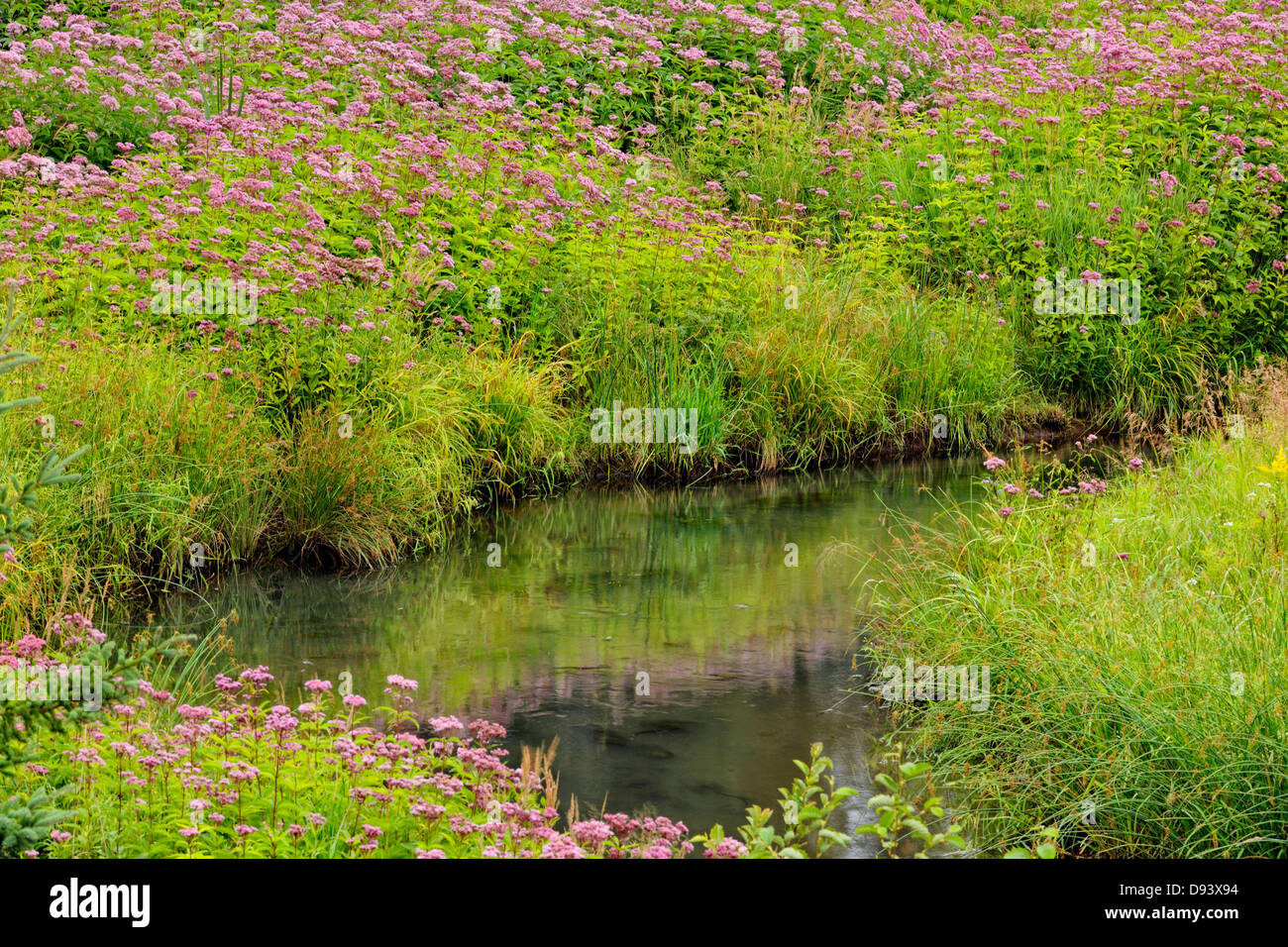 Flowering Joe-pye weed colony and spruces near a small stream Greater Sudbury Naughton Ontario Canada - Stock Image