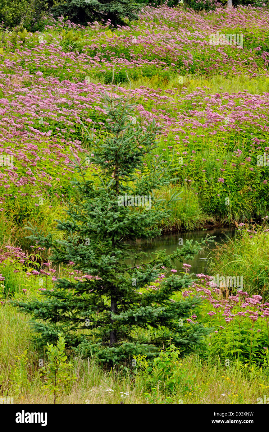 Flowering Joe-pye weed colony and spruces near a small stream Greater Sudbury Naughton Ontario Canada - Stock Image