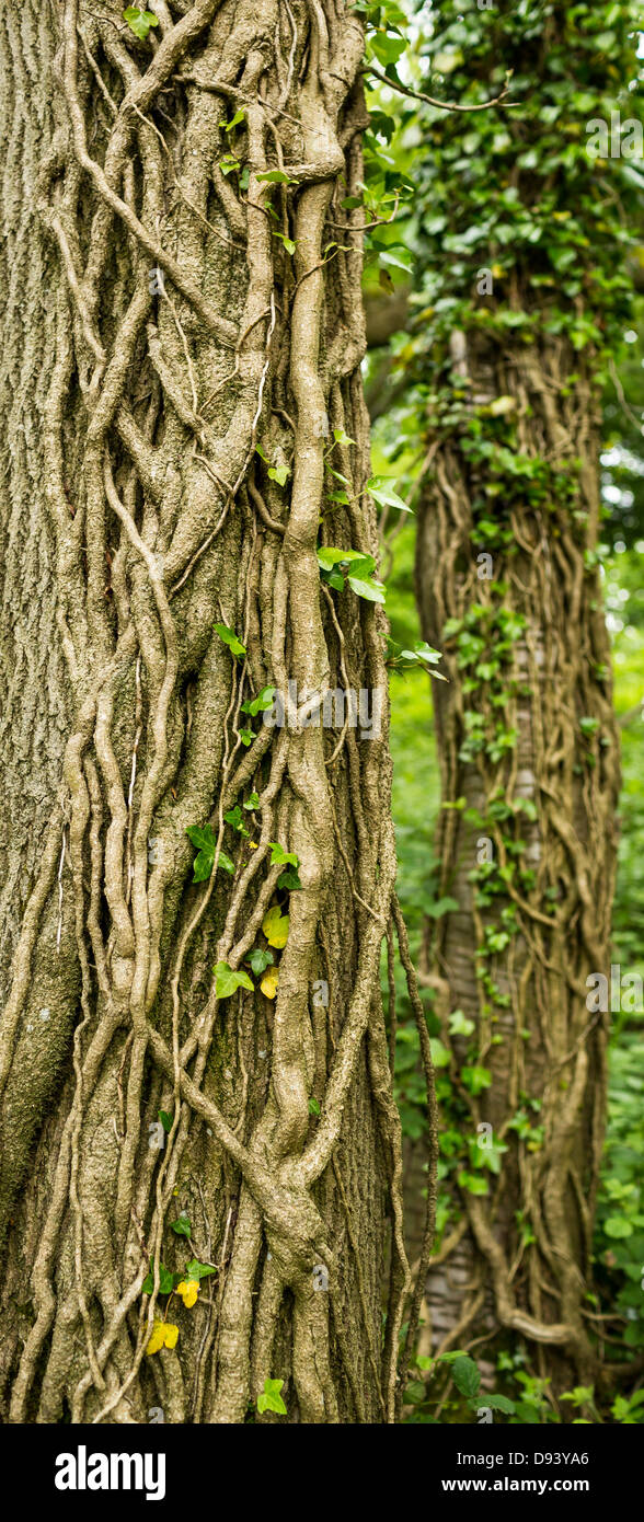 Ivy Creepers on a Tree - Stock Image