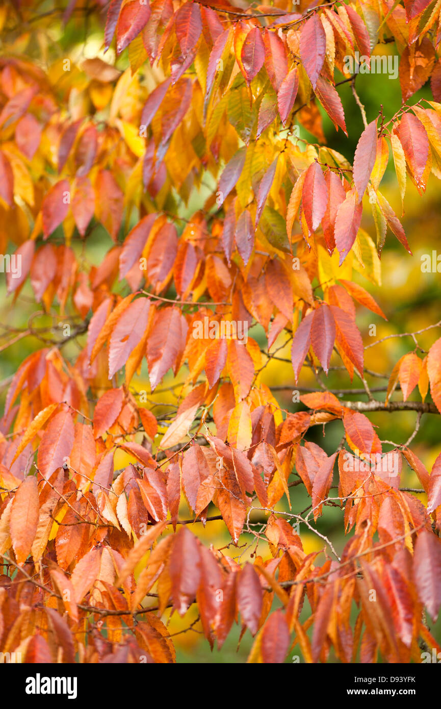 Zelkova serrata, Japanese zelkova or Keaki, in autumn - Stock Image