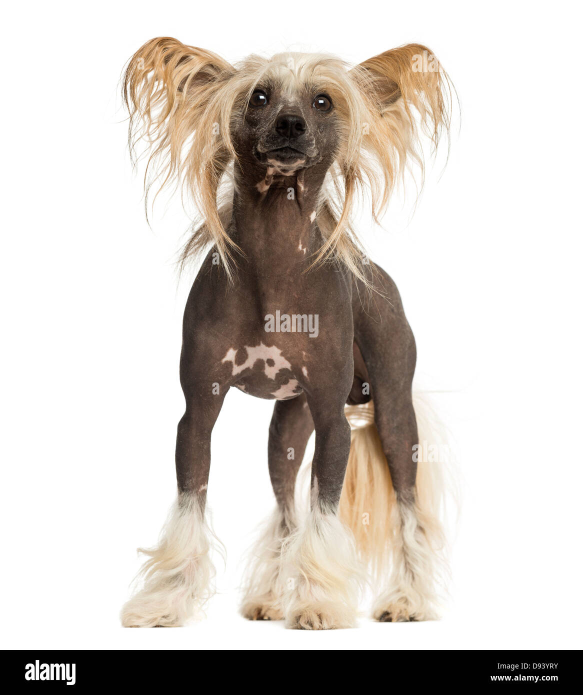 Chinese Crested Dog, 3 years old, standing against white background - Stock Image