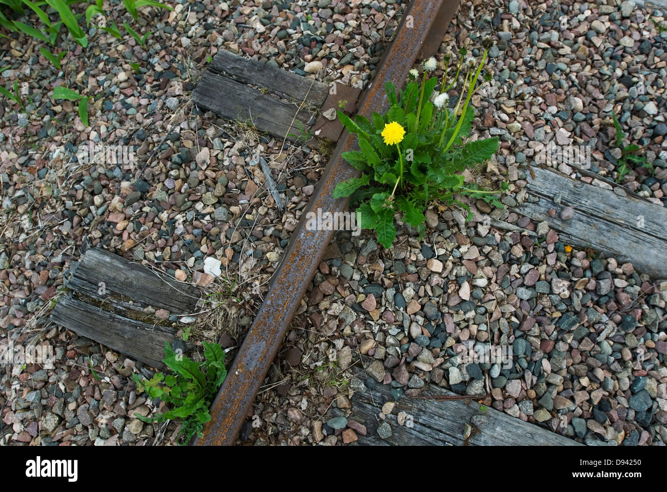 Close up of dandelion growing on railroad track - Stock Image