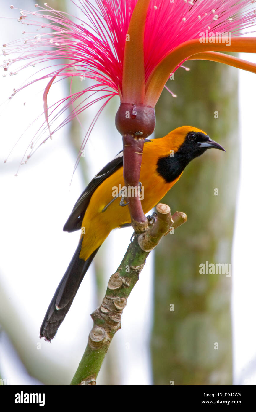 Gylling, a bird in Mexico. Stock Photo