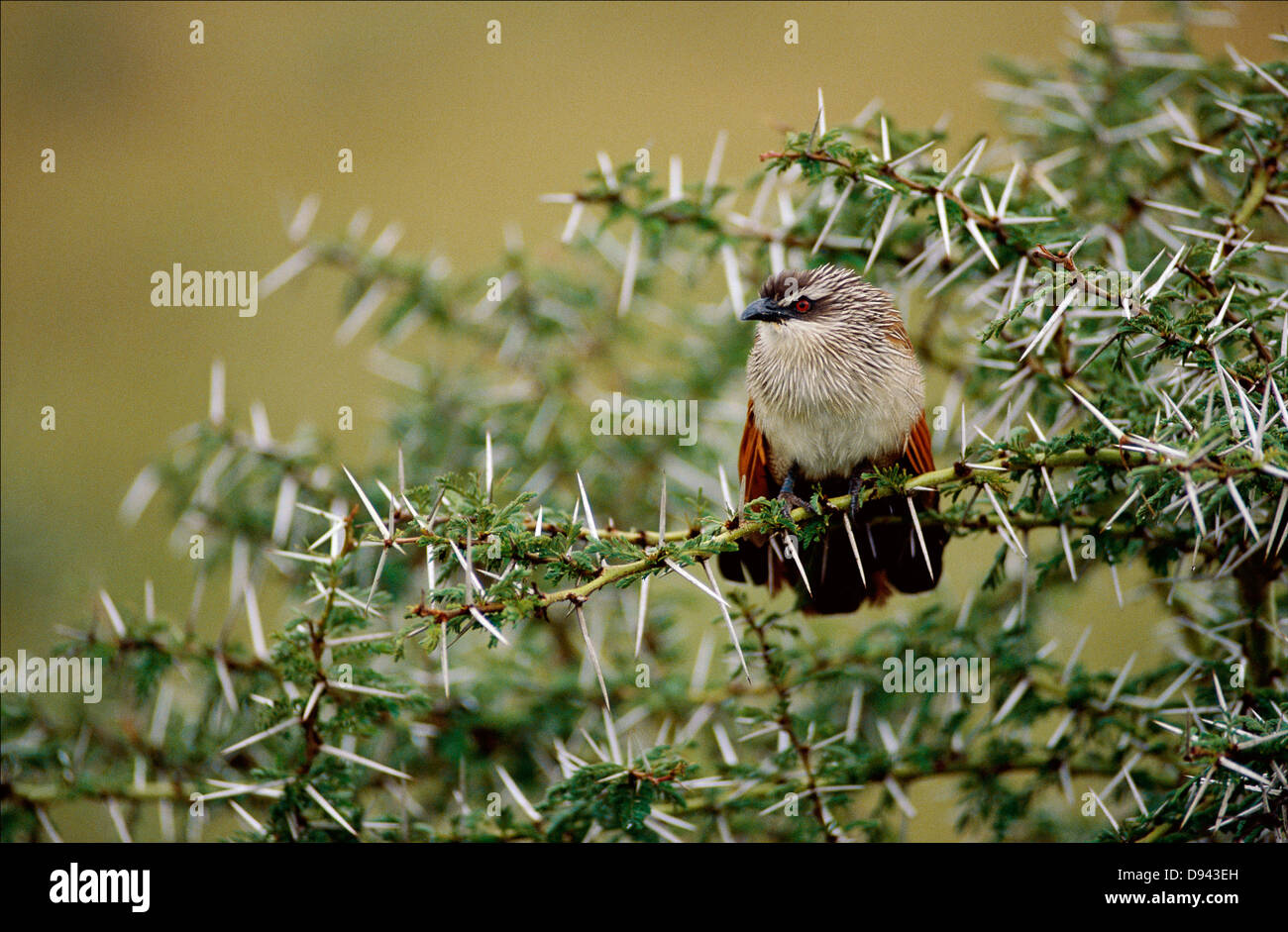 Coucal sitting in thornbush acacia - Stock Image