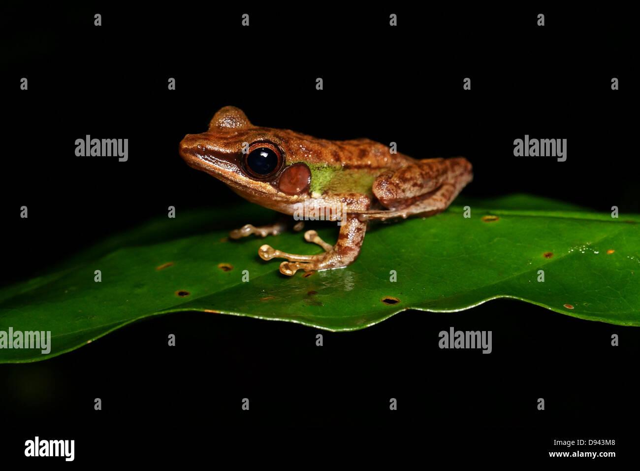 Hylarana megalonesa Large white-lipped frog in Kinabatangan River, Sabah, Malaysia, Borneo. Discovered in 2009 - Stock Image