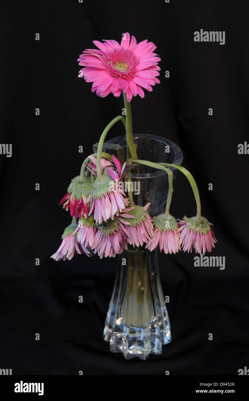 Last surviving flower standing in vase of water amid dead flowers representing survival and life - Stock Image