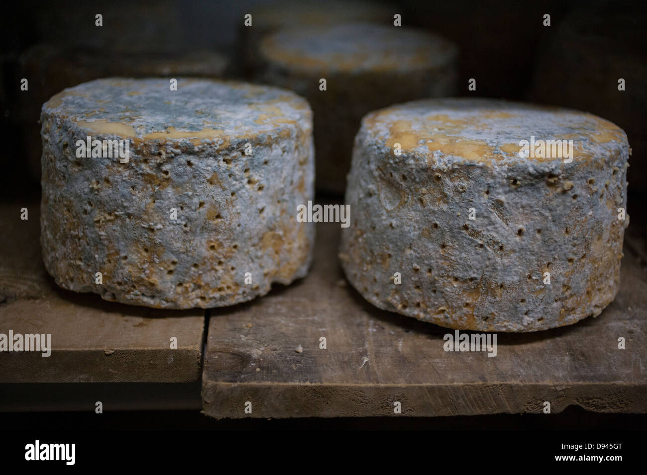 blue cheese wheels being aged on a shelf - Stock Image
