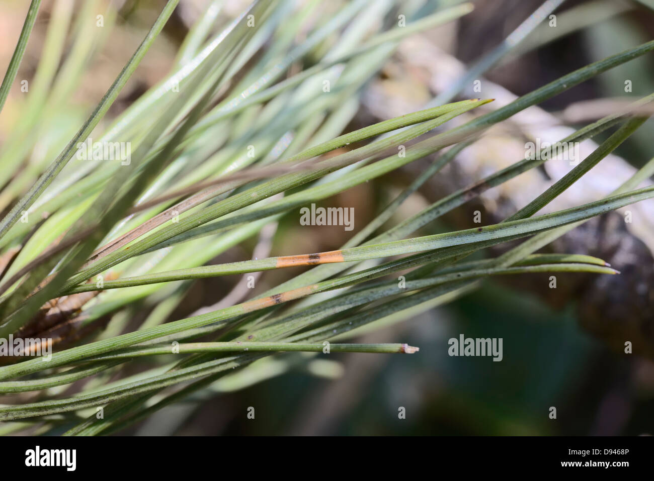 Red band on pine needles, diagnostic signs of Dothistroma Needle Blight or Red Band Needle Blight, Wales, UK. - Stock Image