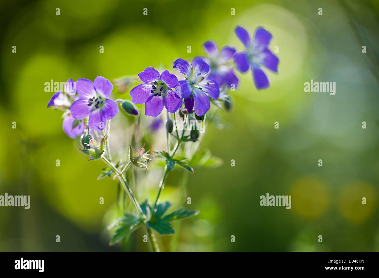 Blue Geraniaceae flowers, close-up - Stock Image