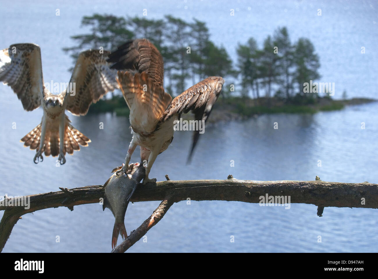 Handover of fish from female to male osprey, Halden, Norway. - Stock Image