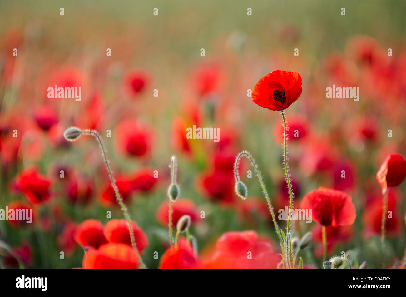 early spring poppy flowers backlit with the sun against blurred background selective focus - Stock Image