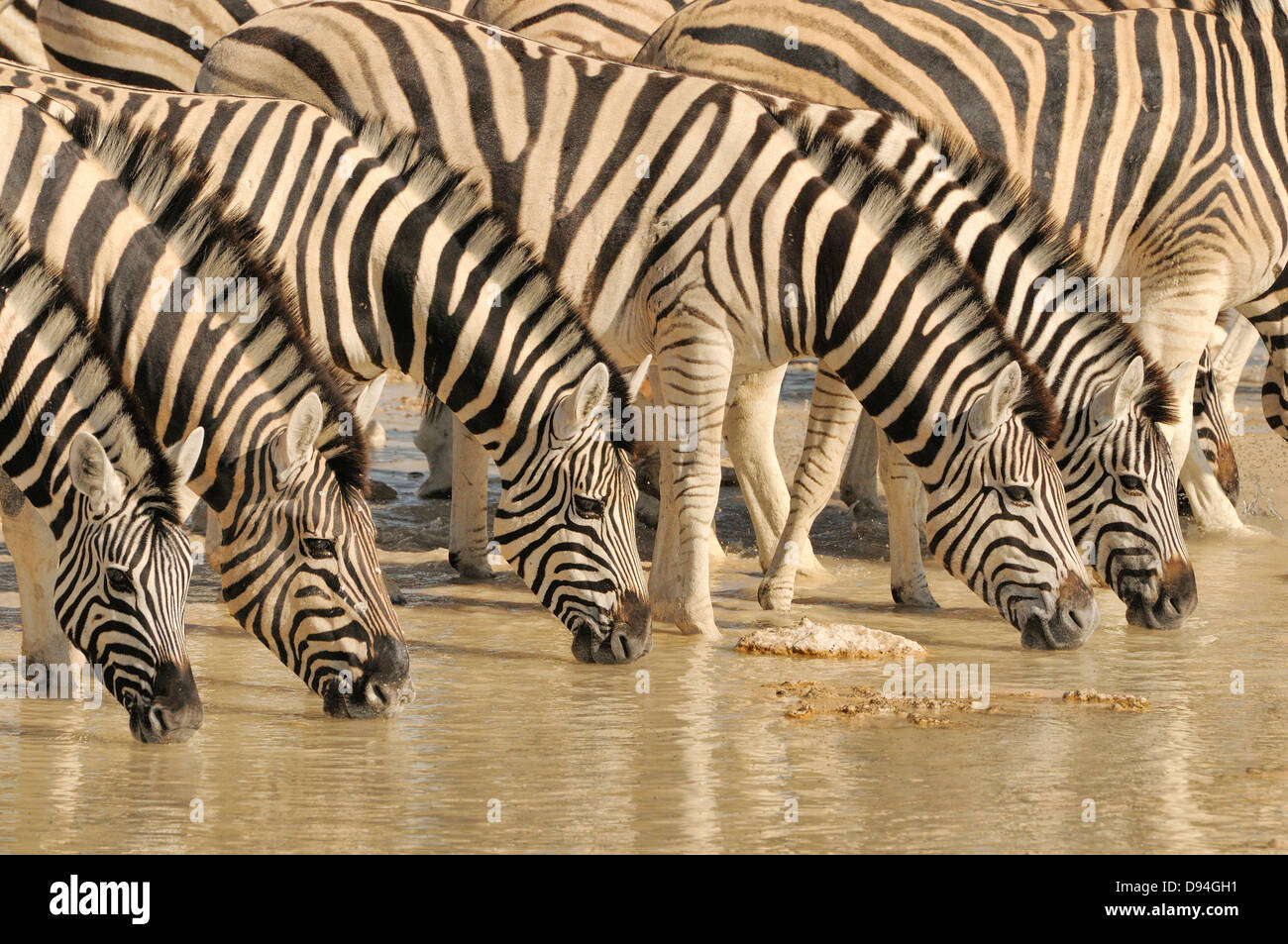 Burchell's Zebra Equus quagga burchellii Drinking at water hole Photographed in Etosha National Park, Namibia - Stock Image