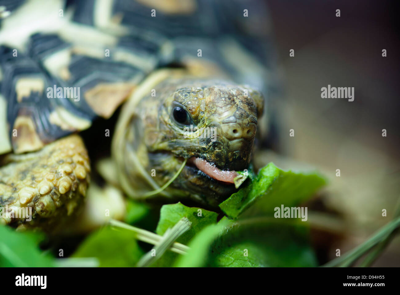 Mountain or leopard tortoise (Geochelone pardalis) eating the green leaf. - Stock Image