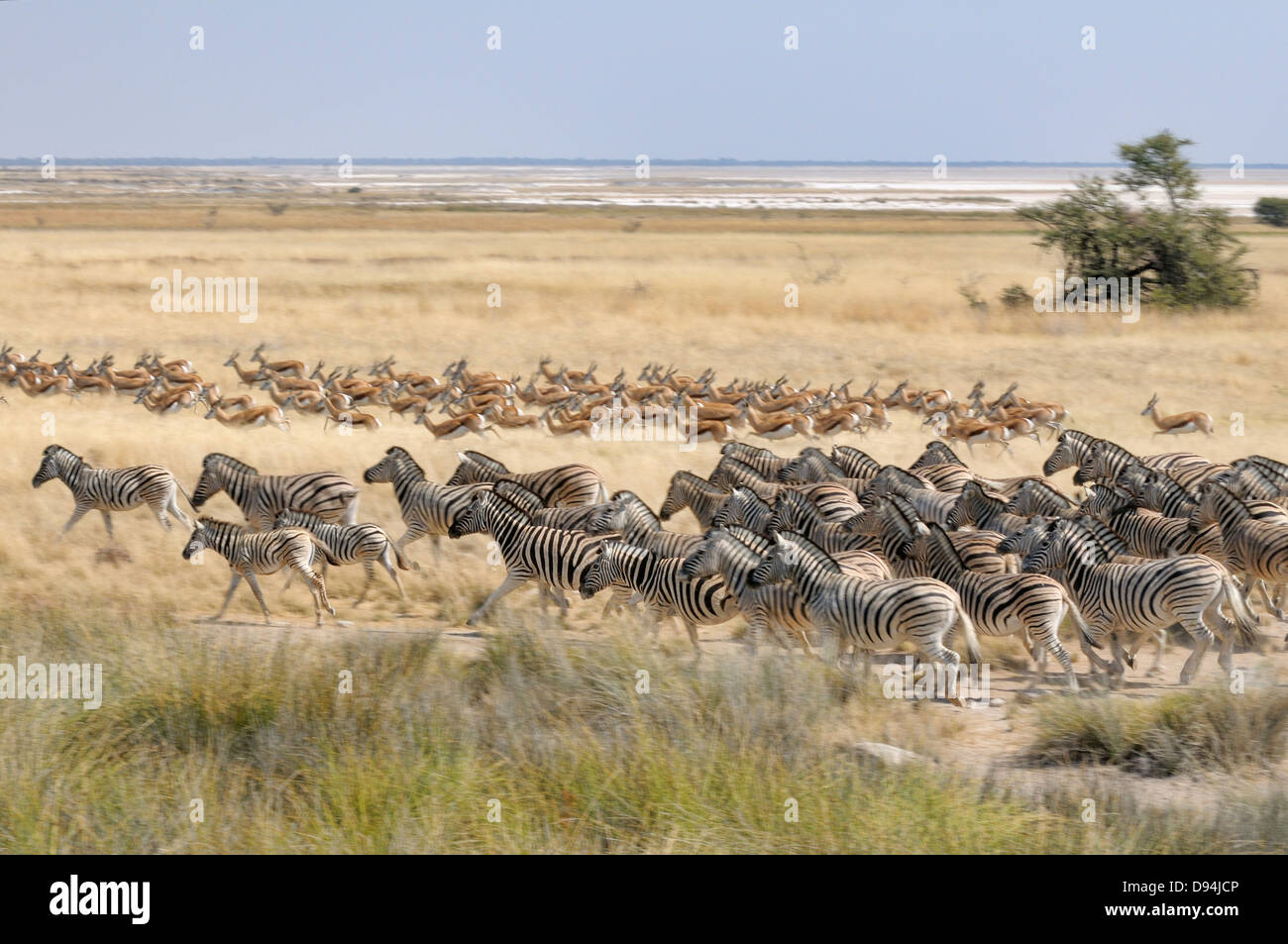 Burchell's Zebra, Equus quagga burchellii and Springbok, Antidorcas marsupialis, photographed in Etosha National - Stock Image