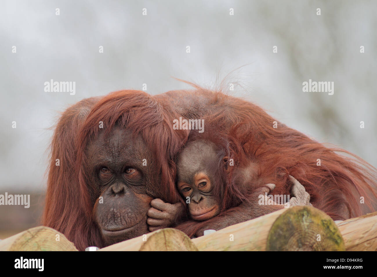 Bornean Orang utan Pongo pygmaeus pygmaeus  mother and young in zoo. - Stock Image