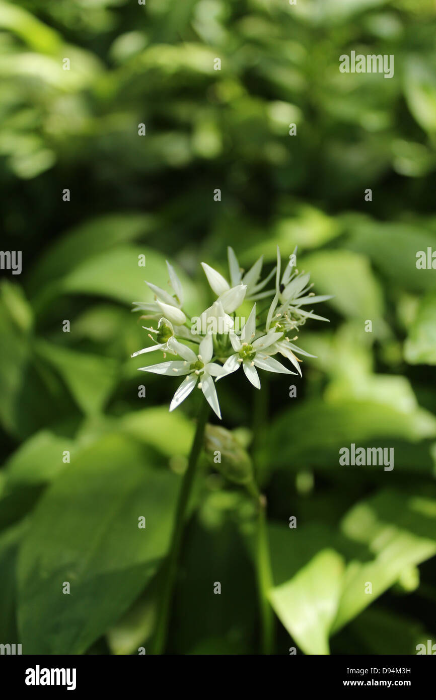 Wild garlic - Stock Image