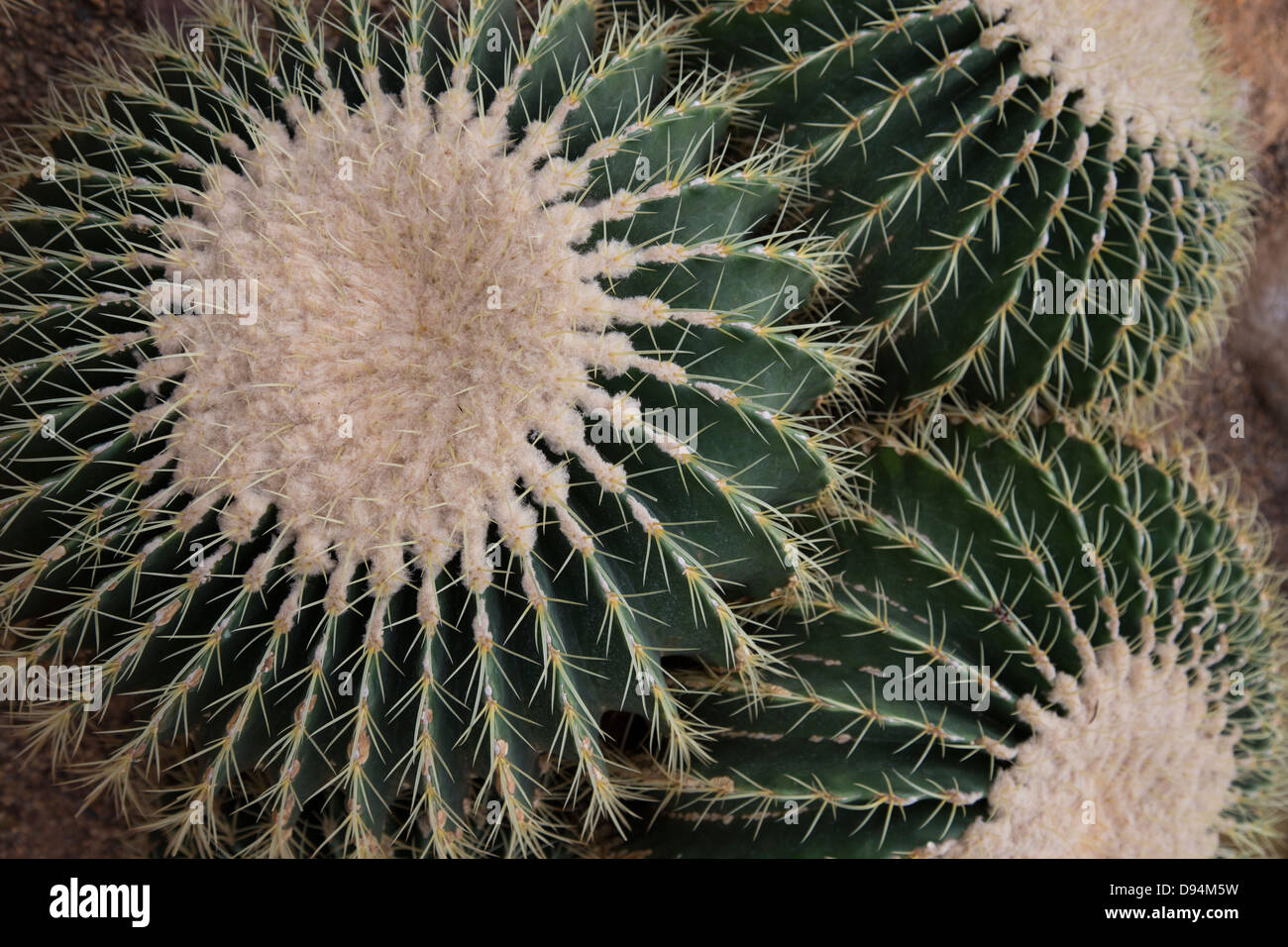 Cactus is a member of the plant family Cactaceae, within the order Caryophyllales. - Stock Image