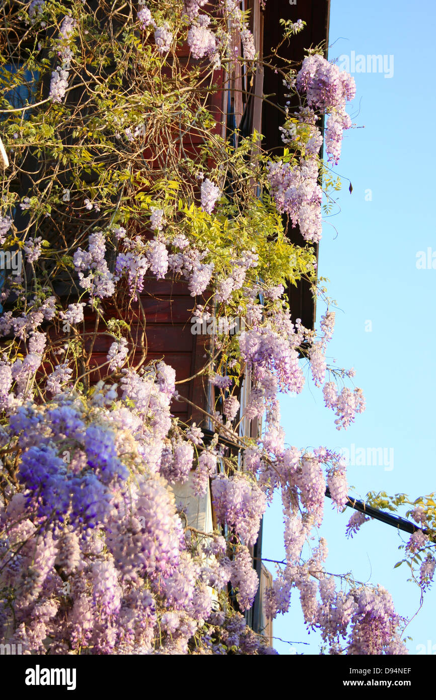 Lilac Flower in spring garden - Stock Image