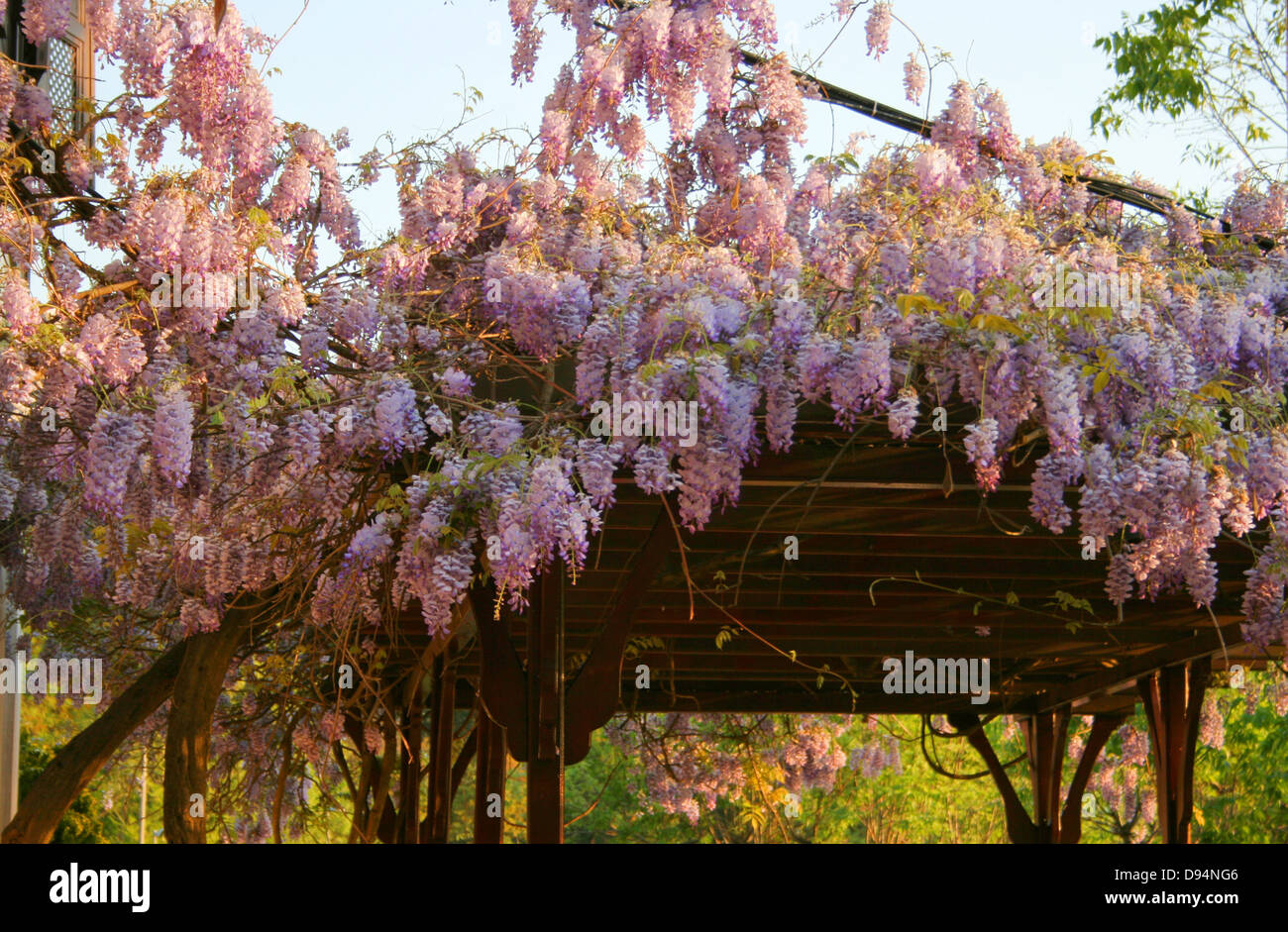 Lilac Flowers on bower in spring garden - Stock Image