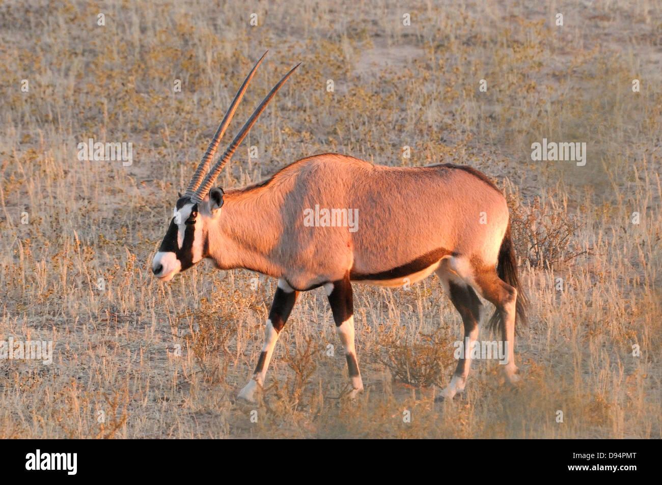 Southern Oryx ,(Gemsbok) Oryx gazella, Photographed in Kgalagadi National Park, South Africa - Stock Image