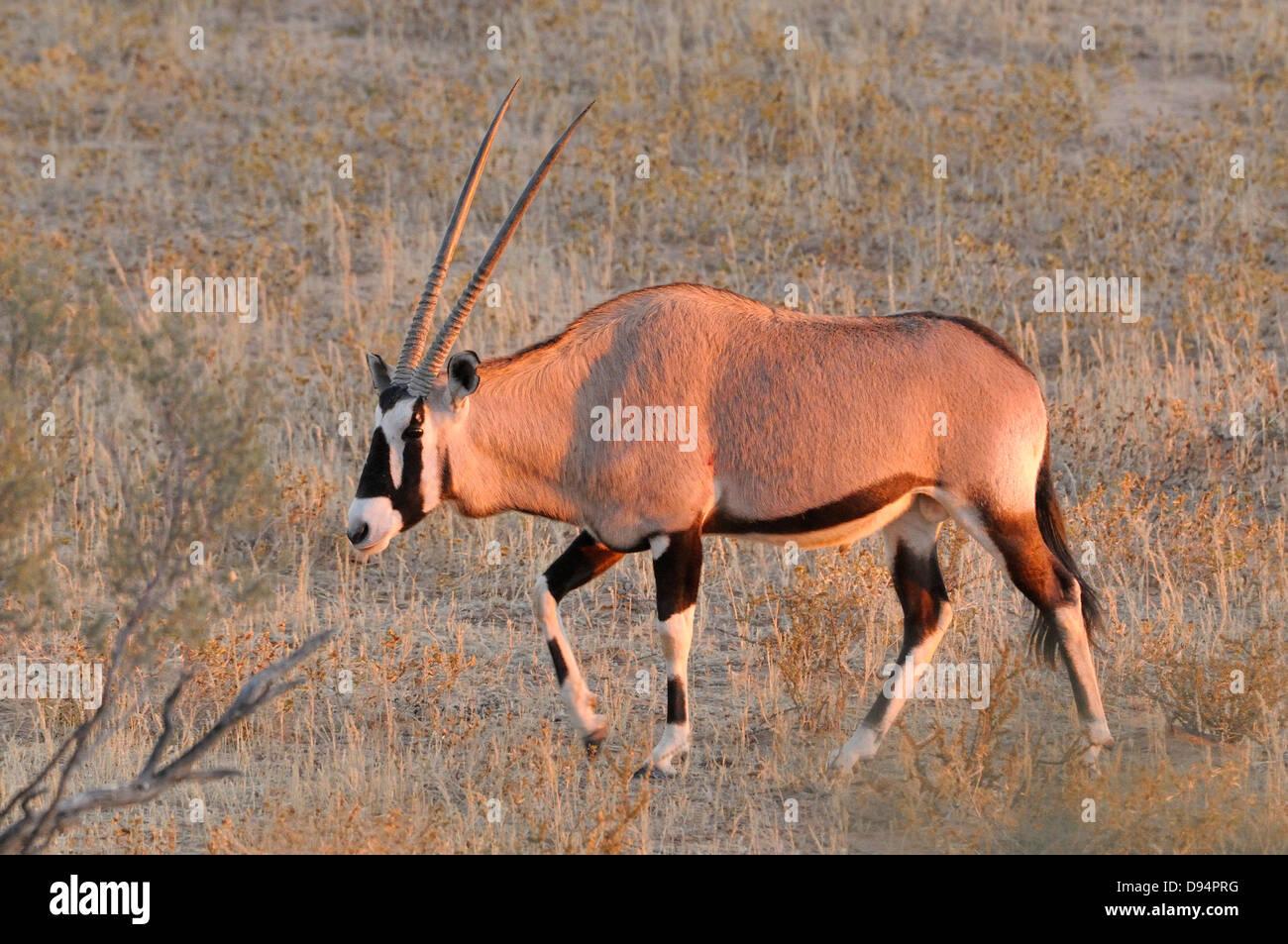 Southern Oryx (Gemsbok) Oryx gazella,  Photographed in Kgalagadi National Park, South Africa - Stock Image