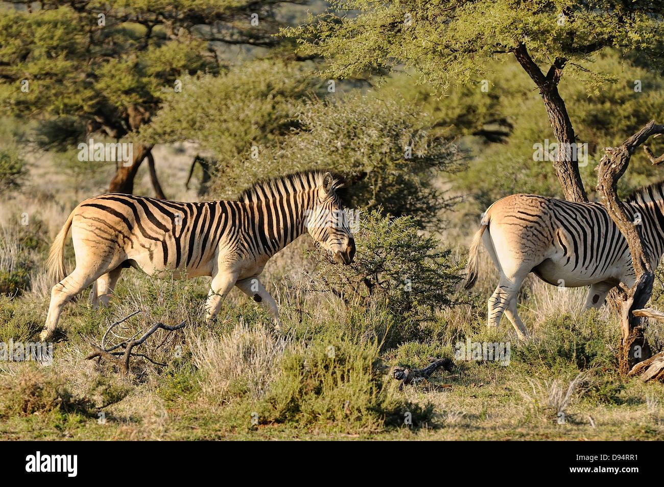 quagga, equus quagga quagga. example of animals in 'breeding back