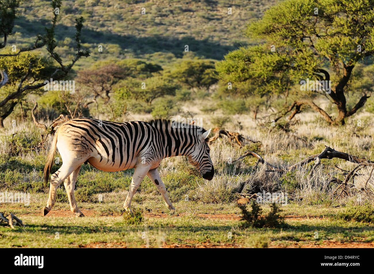 Quagga, Equus quagga quagga. Example of animals in 'breeding back' project to recreate a Quagga from Plains - Stock Image