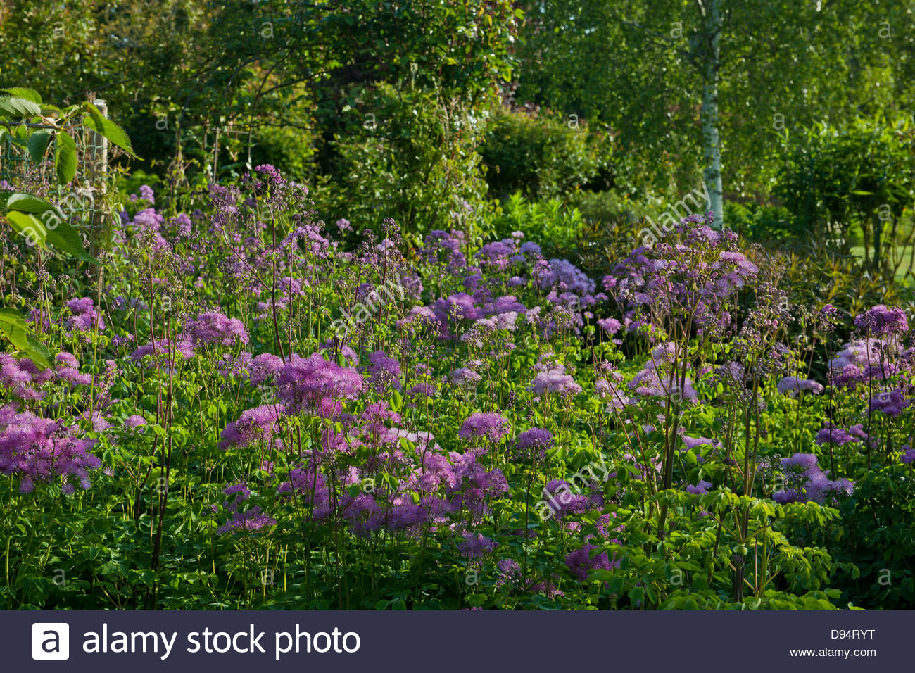 Chinese meadow rue Thalictrum delaveyi Hewitt's Double flower summer June sun sunny pink violet Merriments East - Stock Image