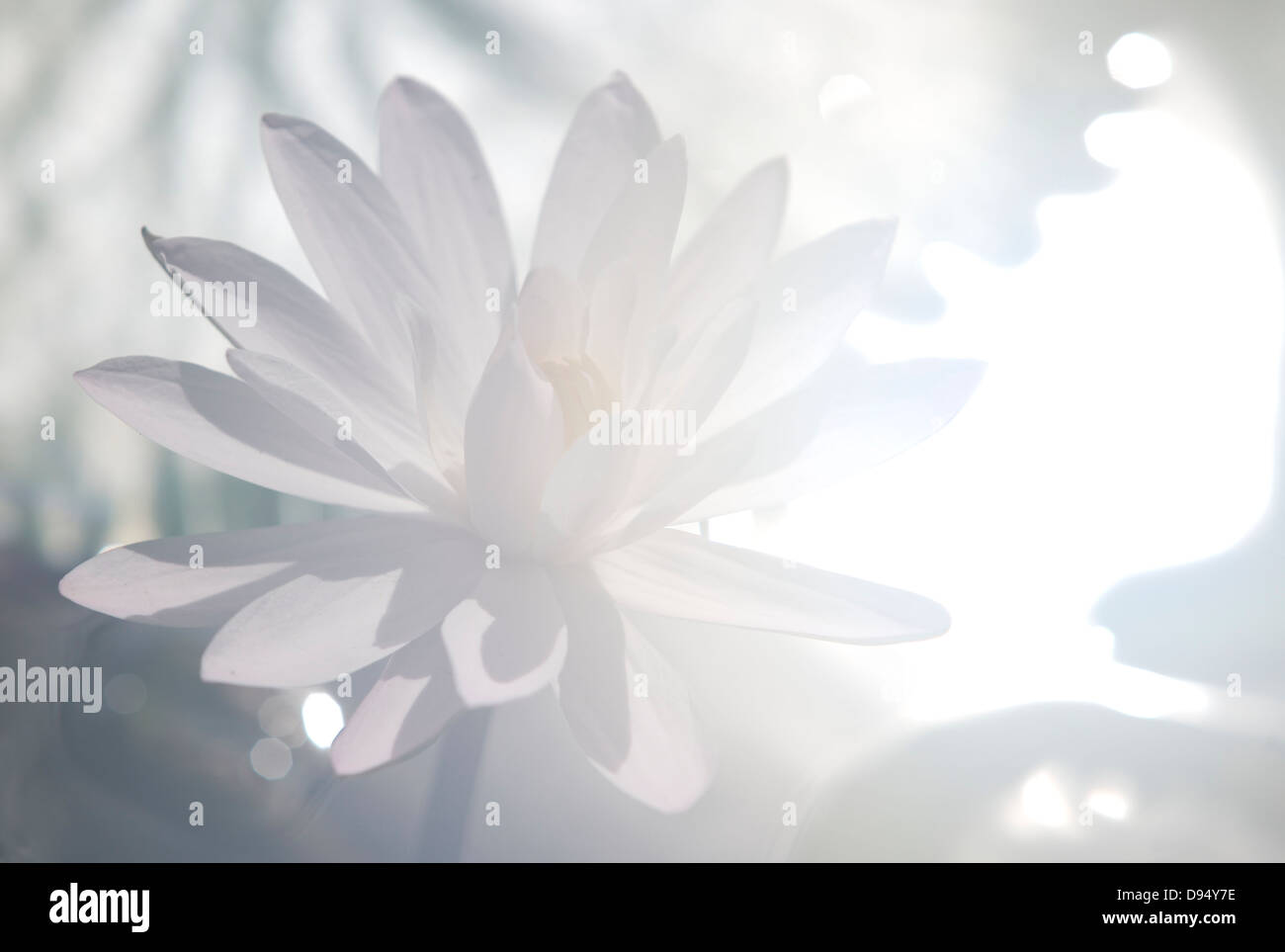 Highkey, close up, of a white water lily back lit by flared sunlight - Stock Image
