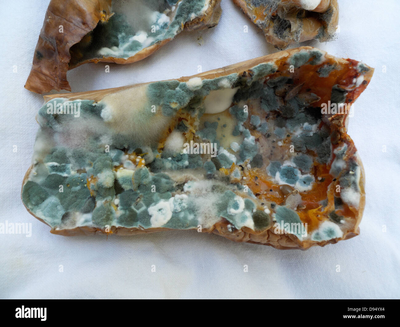 Mould fungus (Penicillium) growing on a baked neglected butternut squash a week after cooking Wales UK  KATHY DEWITT - Stock Image