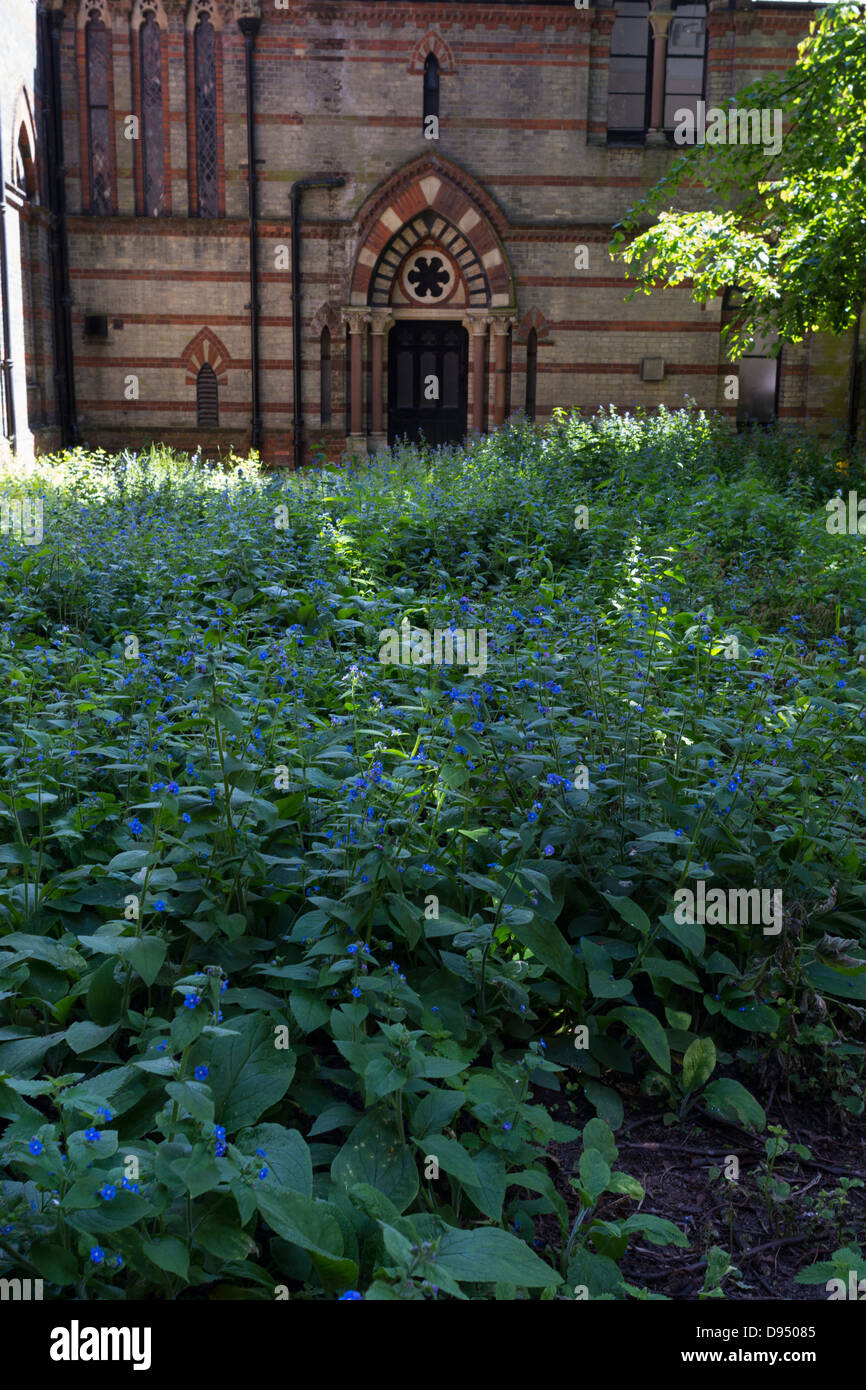 Alkanet or common bugloss, Anchusa officinalis, colonising inner city wasteground, wasteground, Norfolk, England, - Stock Image